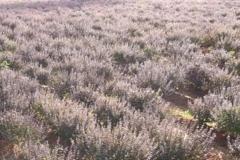 Purple field (BR)