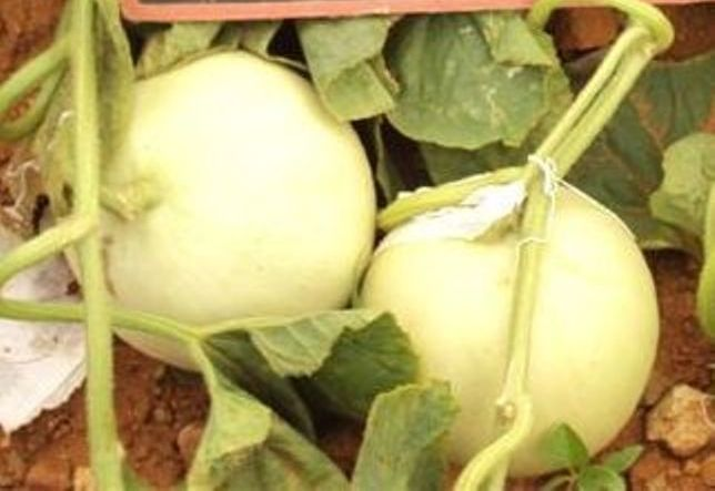 31421-melon-female-fruit-TIM-Copy
