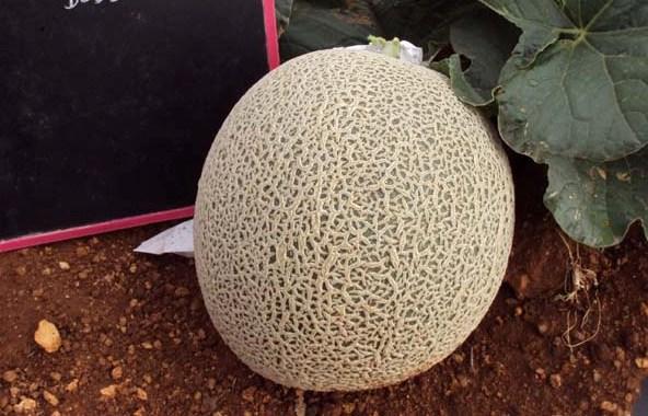 Melon-female-1959-fruit