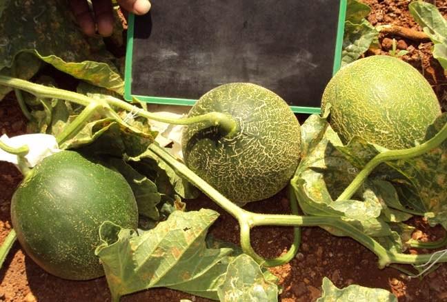 Melon-female-PS-76
