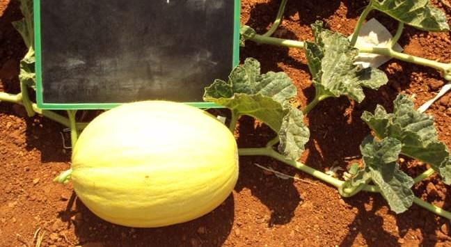 PS-78-melon