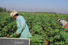 Okra-3025-female-Field