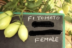 PS-116-tomato-female-fruit