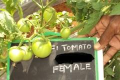 PS-132-tomato-female-fruit