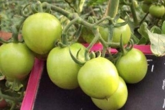 PS-42-tomato-female-fruit-BK