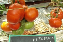 PS-56-tomato-female-fruit