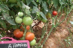 T-1-tomato-female-fruit