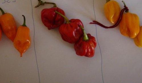Hot-pepper-habanero-female-fruits