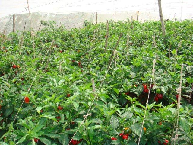 Hot-pepper-nethouse