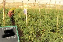 PS-116-tomato-female-rows-BP
