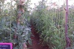 PS-42-tomato-female-nethouse-BK