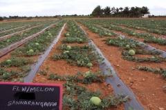 Watermelon-602-field